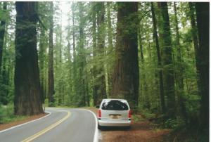 Redwood2